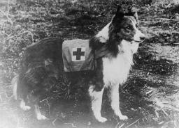 Red Cross Collie in Italy