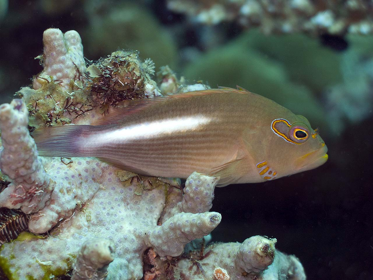 Arc-Eyed Hawkfish