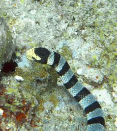 Banded Sea Snake up close and personal