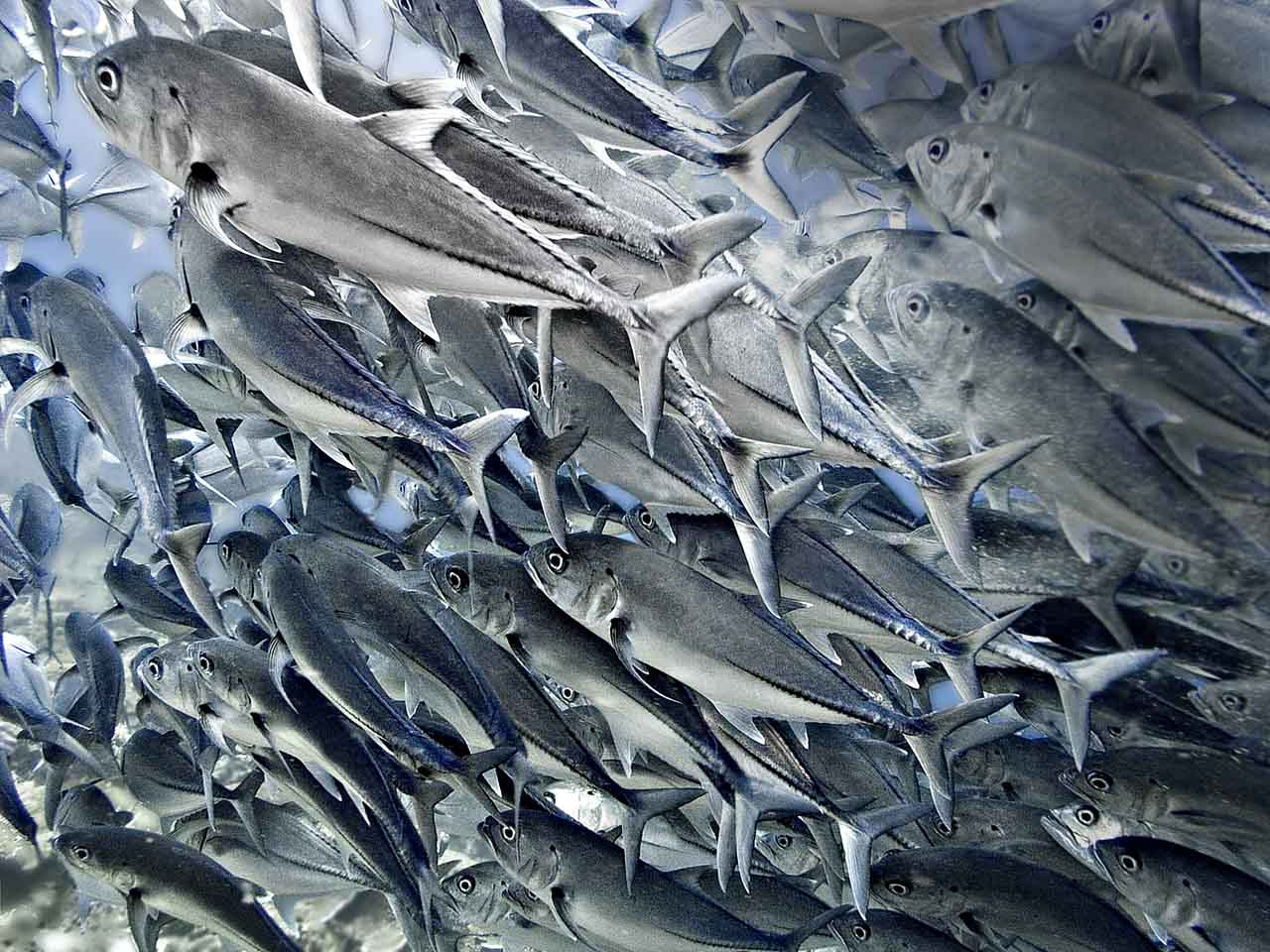 A solid mass of Bigeye Trevally (Caranx sexfasciatus)