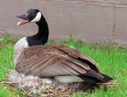 Canada Goose Sitting on Nest - Indiana