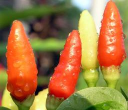 Happy Chilies