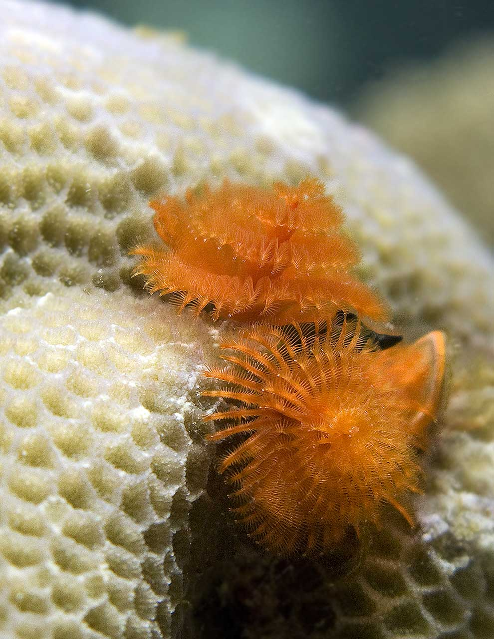 The Tangerine Dream variety of Christmas Tree Worm