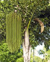 The fruitful Fishtail Palm