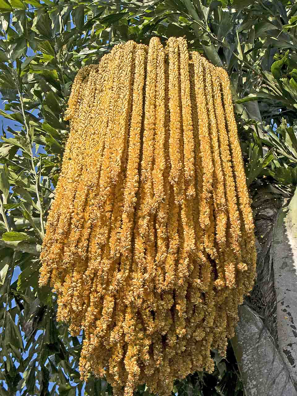 A blooming Fishtail Palm