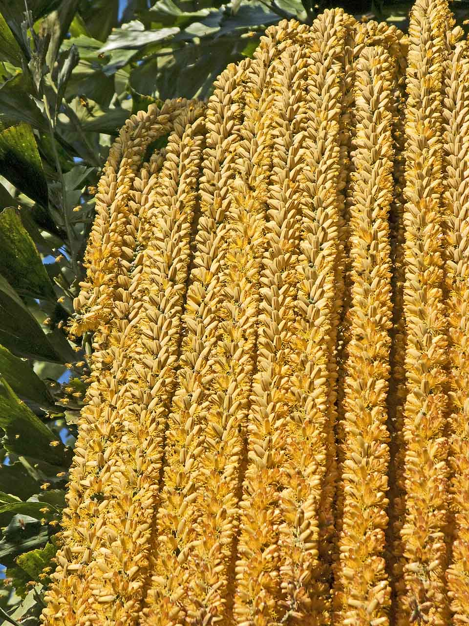 Bees feeding on blossoming Fishtail Palm