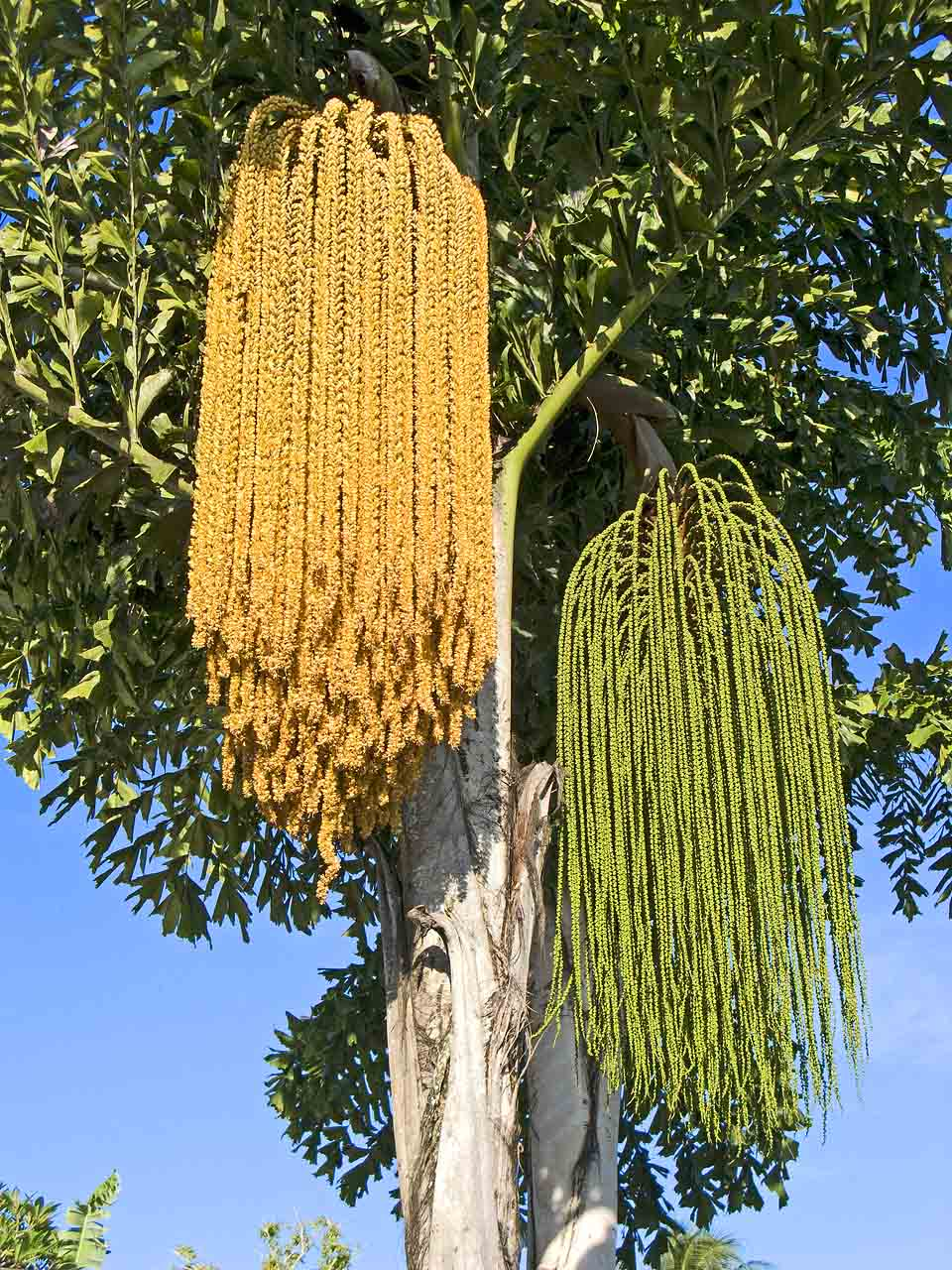 Busy as Bees on a Fishtail Palm | Madang - Ples Bilong Mi