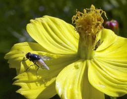 Big fly on a flower