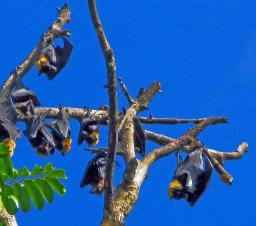The Flying Fox fruit bat