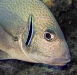 Silver sweetlips (sub-adult) with cleaner wrasse
