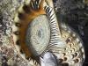 Living Triton shell