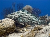 Netfin Grouper (Epinephelus miliaris)