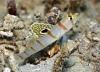 Randall\'s Shrimpgoby (Amblyeleotris randalli)