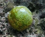 Sailor\'s Eyeball (Valonia ventricosa)