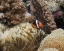 Tomato Anemonefish [female] - Amphiprion frenatus