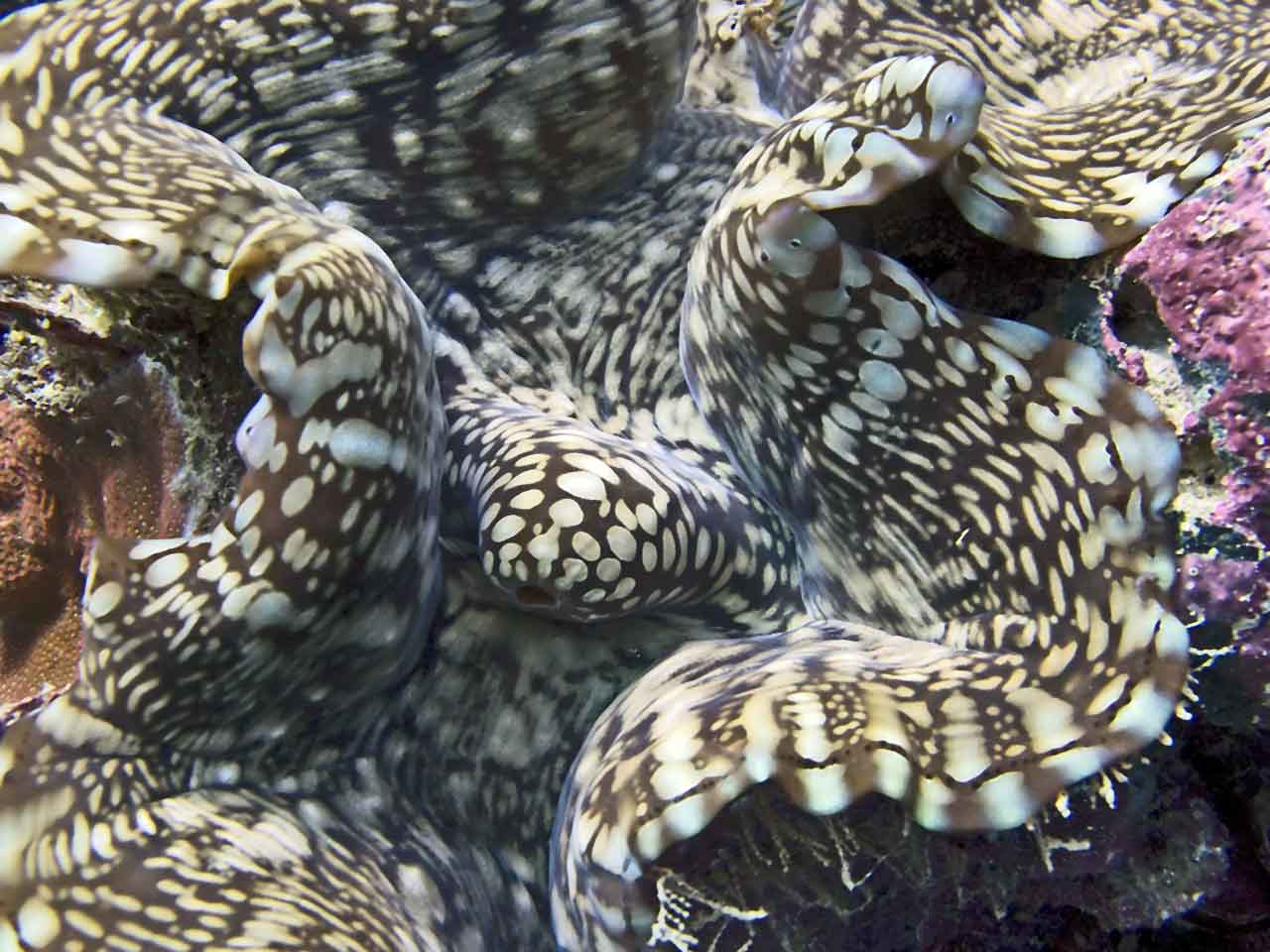 Giant Clam pretends it's a leopard