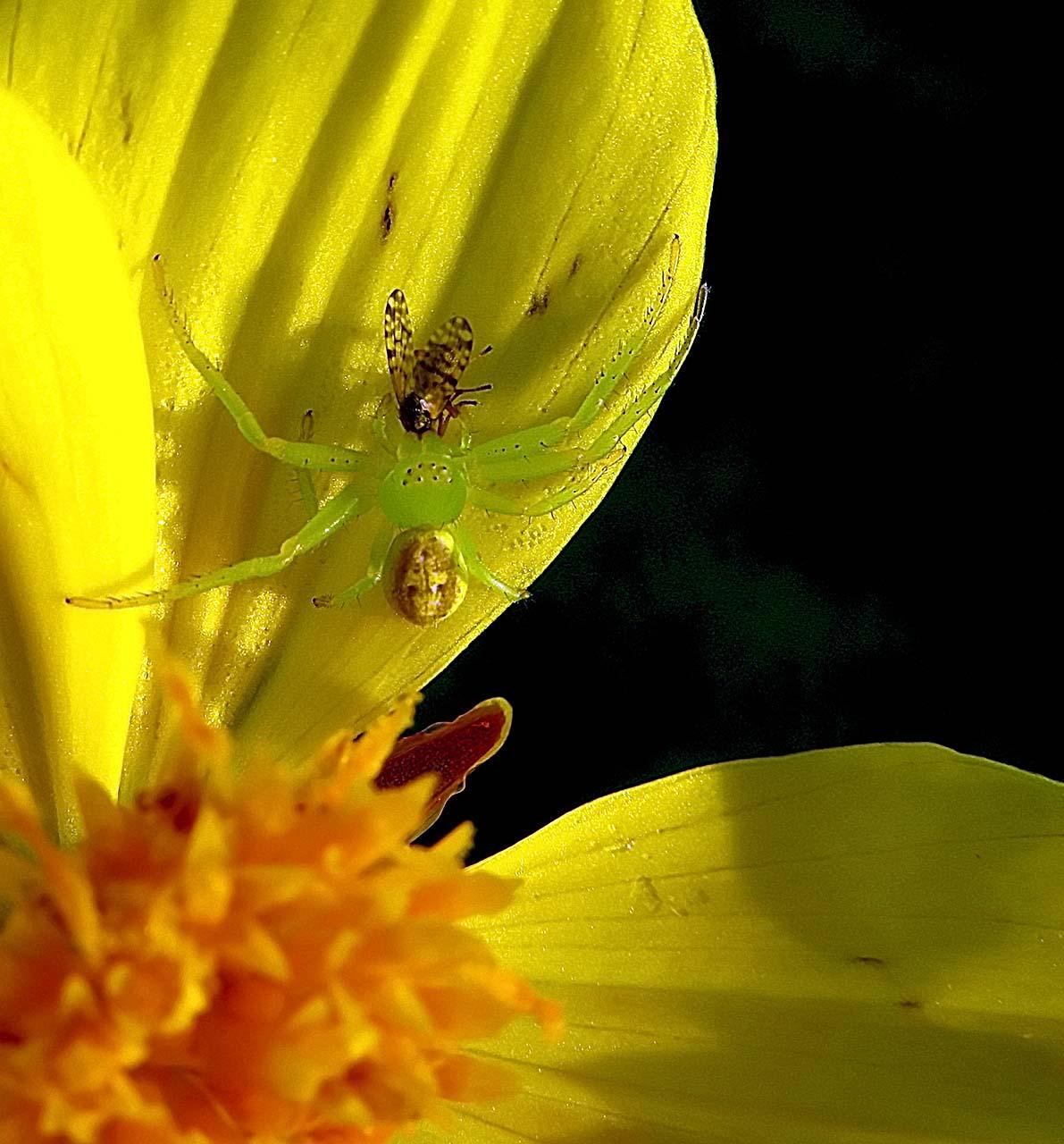 A little green spider enjoying his breakfast