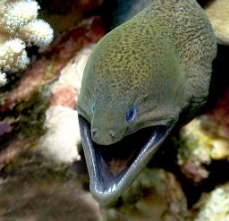 The Giant Moray