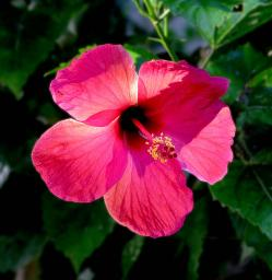 The real hibiscus