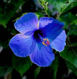 A blue hibiscus (not)