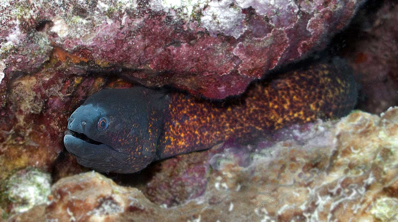 Small Moray Eel