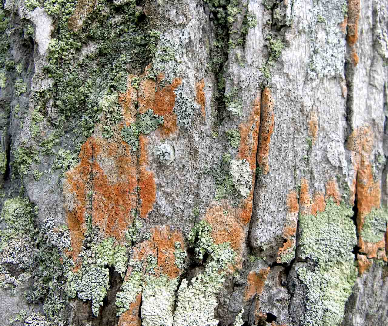 Lichens on coconut tree