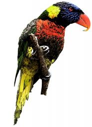 The Lorikeet from Hell