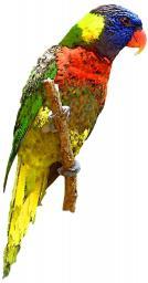 A watercolour lorikeet