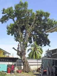 A venerable mango tree