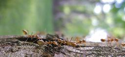 Muli Ants in Love