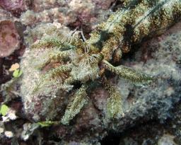 Prickly sea cucumber