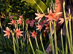 Fervently orange lilies