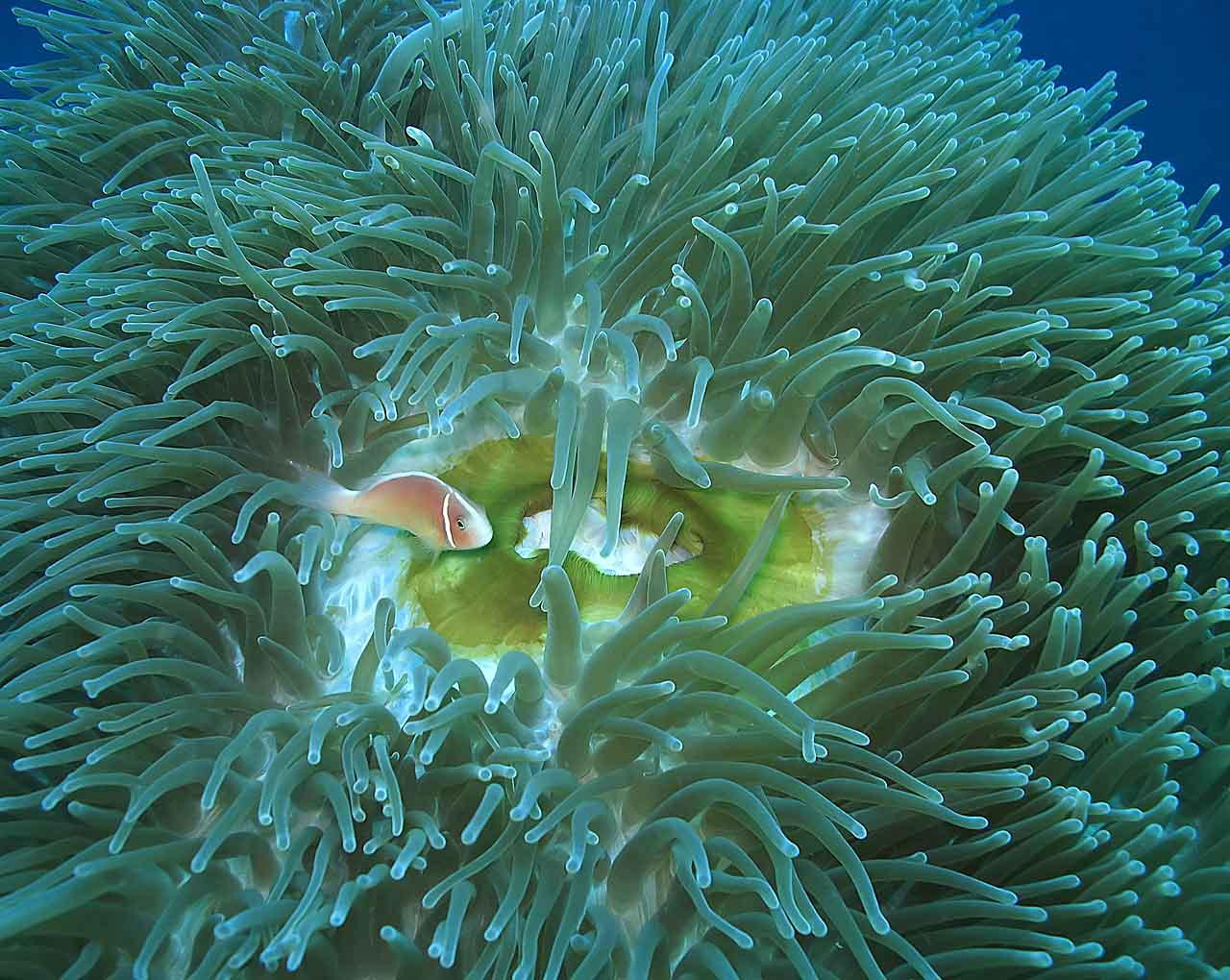 Pink Anemonefish and Magnificent Anemone