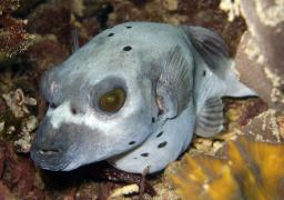 An ancient looking pufferfish
