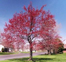 Brownsburg - Red Tree