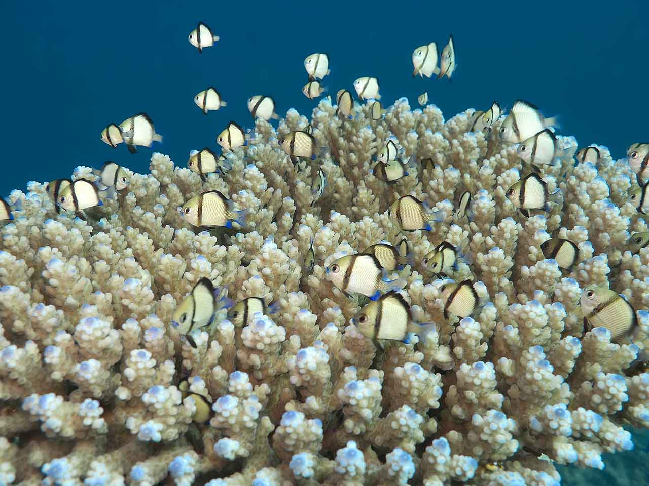 A cloud of Reticulated Dascyllus (Dascyllus reticulatus) hangs over plate coral