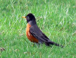 Cock Robin - First Sign of Spring in Indiana