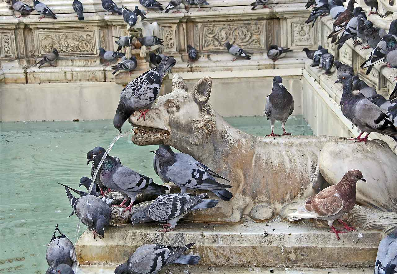 Pigeon stands on head to drink from spewing dog - Only in Siena!