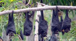 The Spectacled Flying Fox