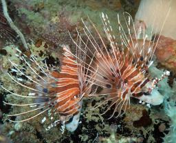 Spotfin Lionfish on the Henry Leith