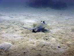 Blue Spotted Stingray settling down