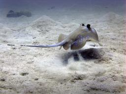 Blue Spotted Stingray fleeing again