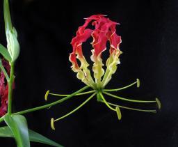 The Pan-Galactic Gargleblaster flower