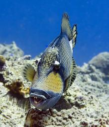 Titan Triggerfish - I'd be moving quickly away at this point