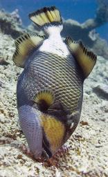 Titan Triggerfish - feeding habit