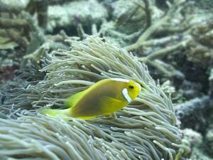 White-Bonnet anemonefish - Amphiprion-leucokranos