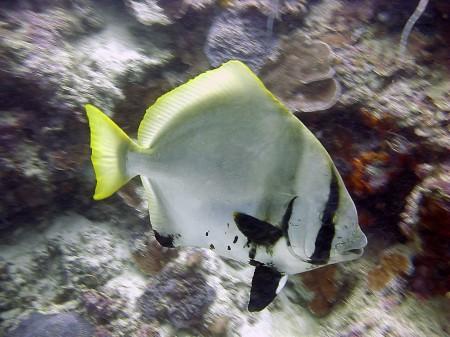 Batavia Spadefish (Palatax batavianus)