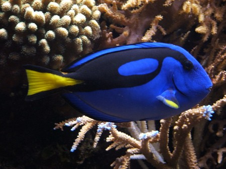 The Pacific Blue Tang (Paracanthurus hepatus)
