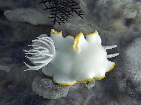 Nudibranch (Ardeadoris egretta)