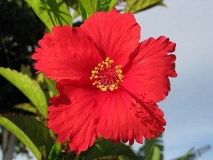 Mind-blowing hibiscus